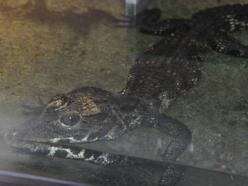 photo Dwarf crocodile / <span class='cursive'>Osteolaemus tetraspis</span>