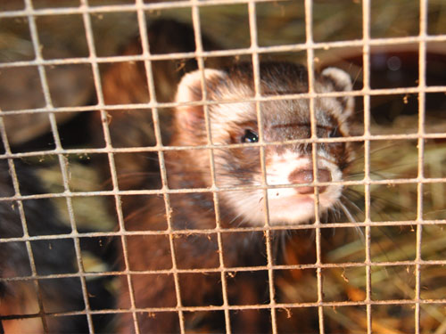 photo Mustela putorius furo / Domestic ferret