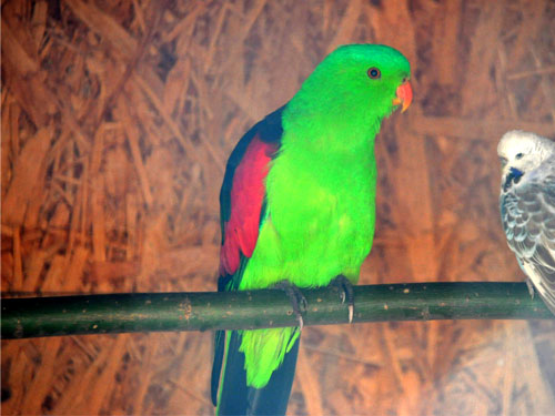 photo Red-winged parrot / <span class='cursive'>Aprosmictus erythropterus erythropterus</span>