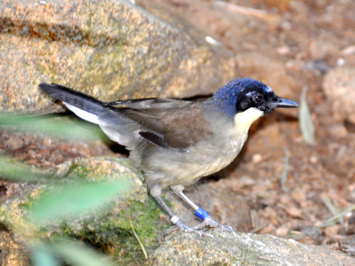 photo Garrulax courtoisi / Blue-crowned laughing thrush