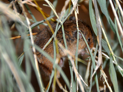 photo Eurasian harvest mouse / <span class='cursive'>Micromys minutus</span>