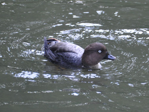 European common goldeneye