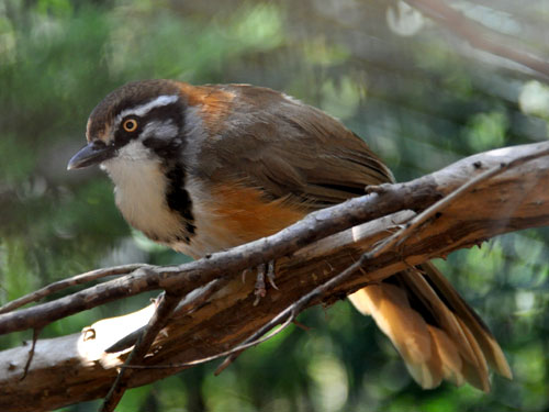 Lesser necklaced laughing thrush