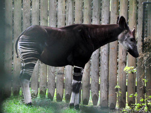 photo Okapia johnstoni / Okapi