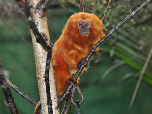 photo Golden lion tamarin / <span class='cursive'>Leontopithecus rosalia</span>