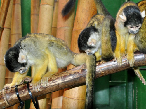Bolivian squirrel monkey