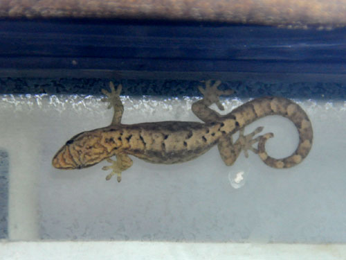 photo Mourning gecko / <span class='cursive'>Lepidodactylus lugubris</span>