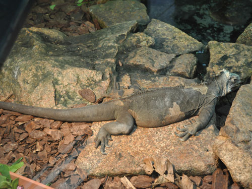 photo West Indian iguana / <span class='cursive'>Iguana delicatissima</span>