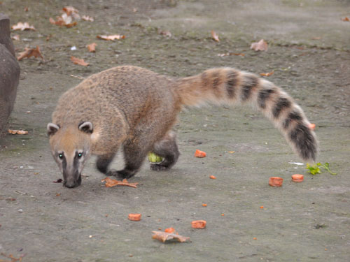 photo Nasua nasua / Brown-nosed coati