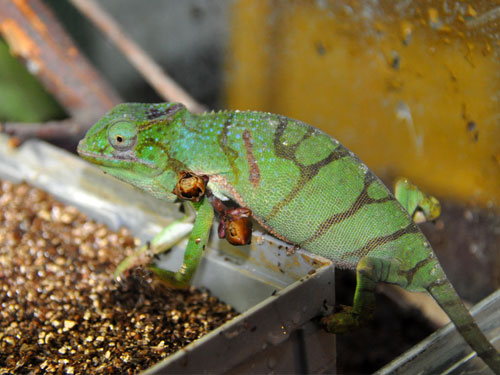 photo Chameleon / <span class='cursive'>Furcifer timoni</span>