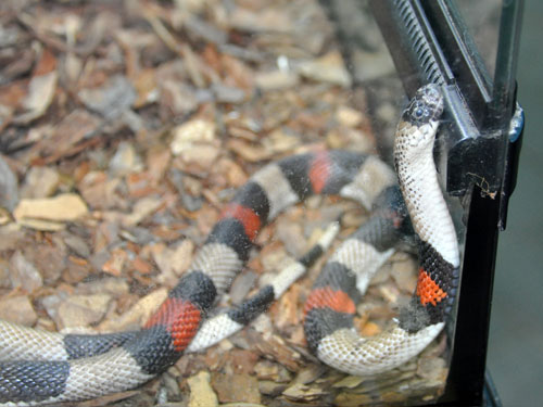 photo Lampropeltis alterna / Grey-banded kingsnake