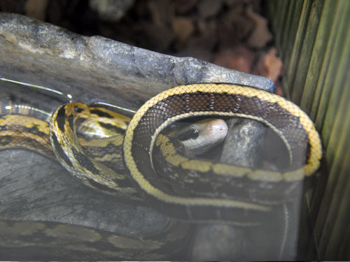 photo Elaphe taeniura / Beauty snake
