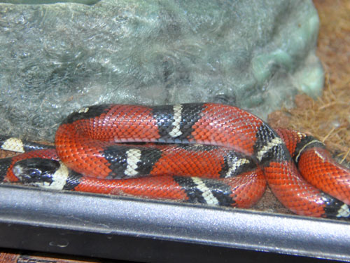photo Lampropeltis triangulum sinaloae / Sinaloan milksnake