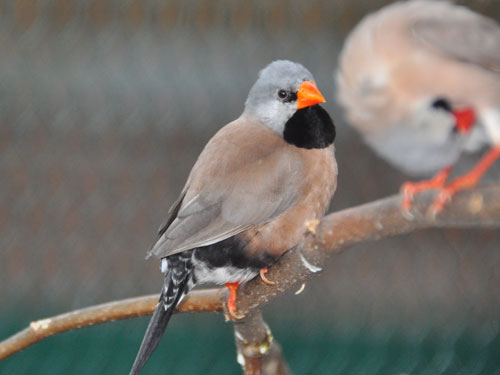 Yellow-billed long-tailed finch