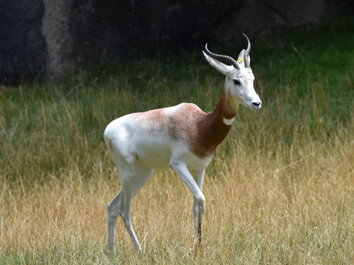 photo Addra gazelle / <span class='cursive'>Nanger dama ruficollis</span>