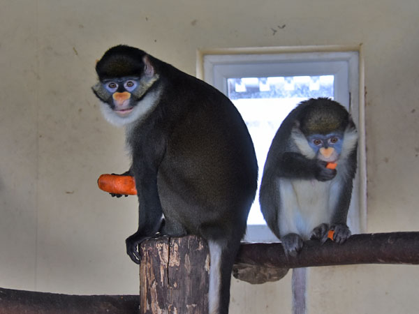 photo Whiteside's guenon / <span class='cursive'>Cercopithecus ascanius whitesidei</span>