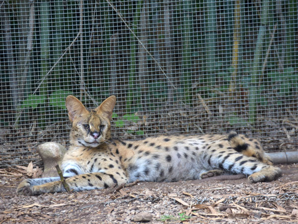 photo Serval / <span class='cursive'>Leptailurus serval</span>