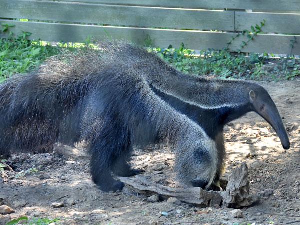 photo Giant anteater / <span class='cursive'>Myrmecophaga tridactyla</span>