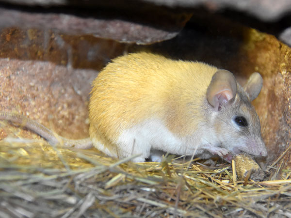 photo Cairo spiny mouse / <span class='cursive'>Acomys cahirinus</span>