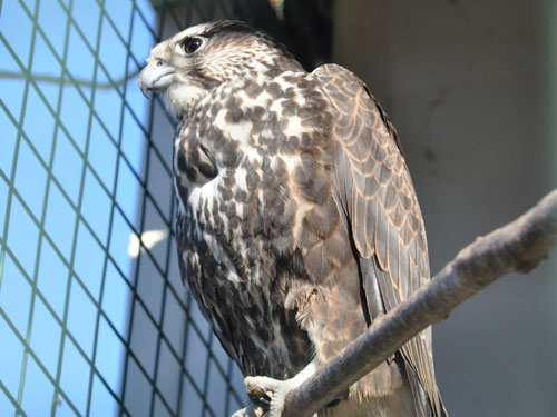 photo Saker falcon / <span class='cursive'>Falco cherrug</span>