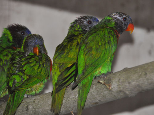 photo Coconut lorikeet / <span class='cursive'>Trichoglossus haematodus massena</span>