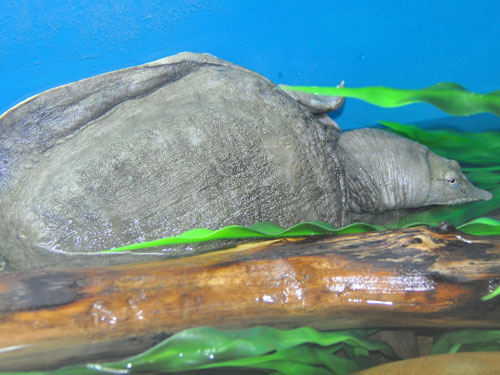 photo Chinese softshelled turtle / <span class='cursive'>Pelodiscus sinensis</span>