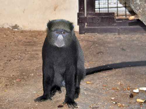 photo Greater white-nosed monkey / <span class='cursive'>Cercopithecus nictitans</span>