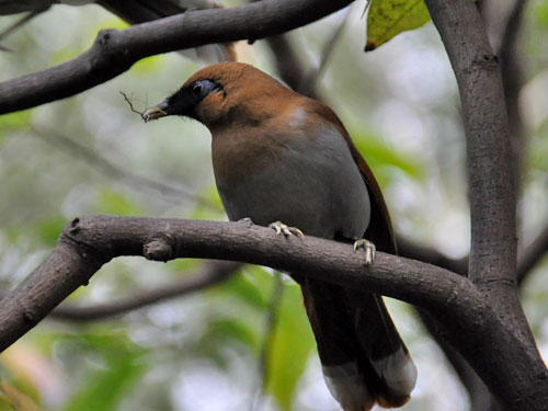 Chestnut-winged laughingthrush