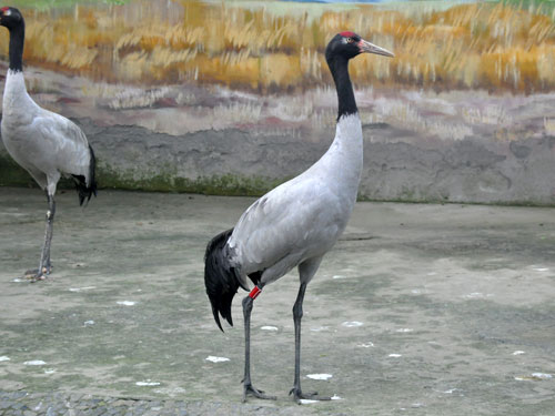 photo Grus nigricollis / Black-necked crane