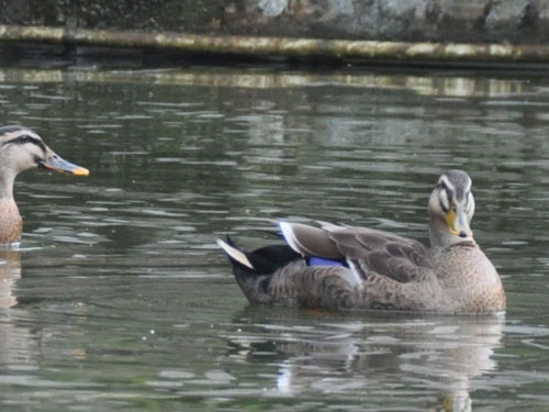 Chinese spot-billed duck