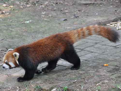 photo Red panda / <span class='cursive'>Ailurus fulgens refulgens</span>