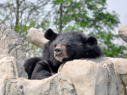 photo Ursus thibetanus / Asiatic black bear