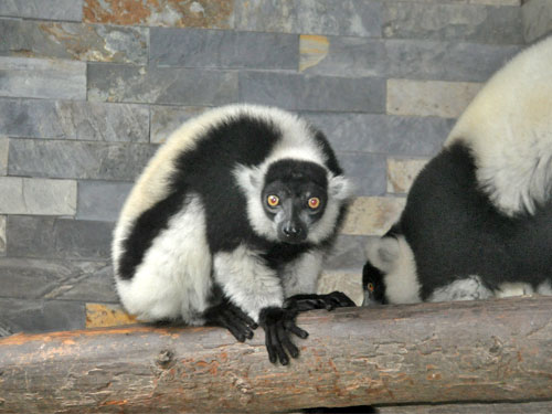 photo Black-and-white ruffed lemur / <span class='cursive'>Varecia variegata variegata</span>