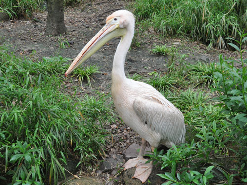 photo Eastern white pelican / <span class='cursive'>Pelecanus onocrotalus</span>