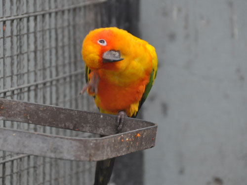 photo Sun conure / <span class='cursive'>Aratinga solstitialis</span>