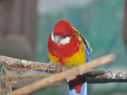 photo Platycercus eximius / Eastern rosella