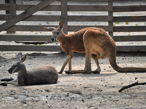 photo Red kangaroo / <span class='cursive'>Macropus rufus</span>