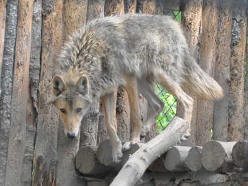 photo Grey wolf / <span class='cursive'>Canis lupus</span>