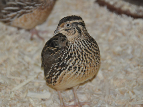 photo Japanese quail / <span class='cursive'>Coturnix japonica</span>