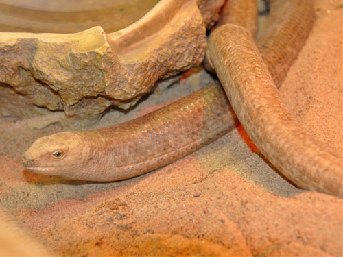 photo Scheltopusik/glass lizard / <span class='cursive'>Ophisaurus apodus</span>