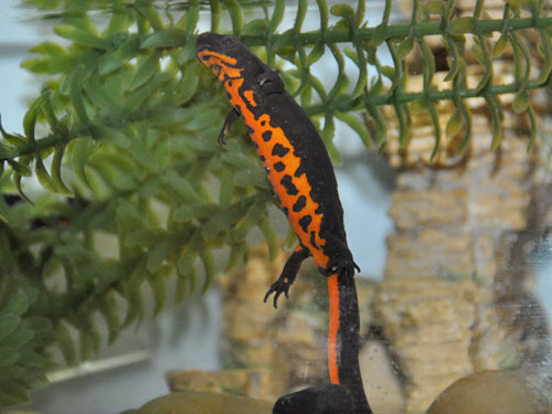 Oriental fire-bellied newt