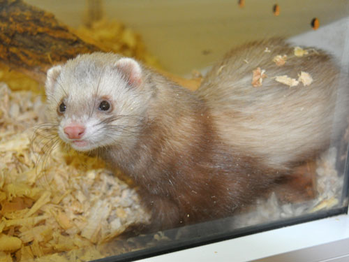 photo Domestic ferret / <span class='cursive'>Mustela putorius furo</span>