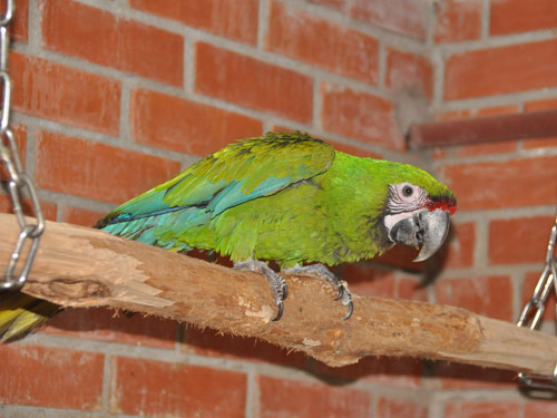 photo Military macaw / <span class='cursive'>Ara militaris</span>