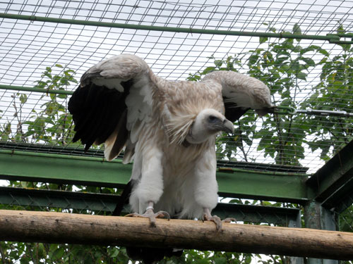 photo Himalayan griffon vulture / <span class='cursive'>Gyps himalayensis</span>
