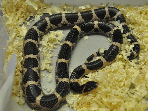 Rose big-tooth snake