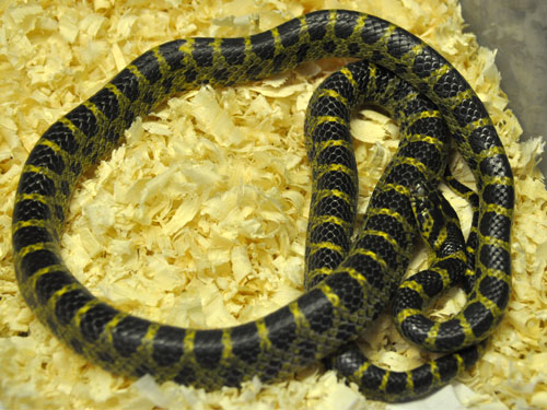 photo Yellow-banded wolf snake / <span class='cursive'>Lycodon flavozonatus</span>