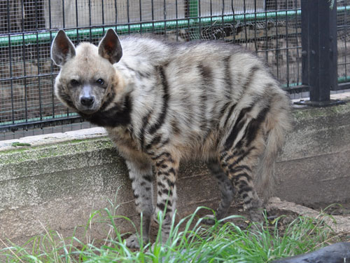 photo Syrian striped hyaena / <span class='cursive'>Hyaena hyaena syriaca</span>