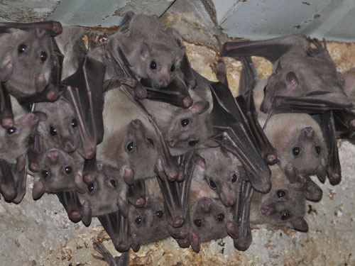 photo Egyptian fruit bat / <span class='cursive'>Rousettus aegyptiacus</span>