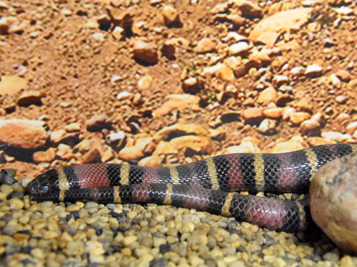 photo Lampropeltis ruthveni / Mexican kingsnake