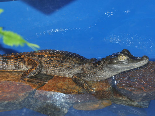 photo Caiman crocodilus / Spectacled caiman